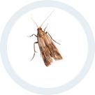 Les Papillons De La Mite Alimentaire