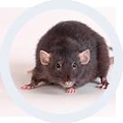 Pourquoi Lutter Contre Les Rats